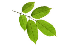 Close up Green leave on white isolate background Royalty Free Stock Photos