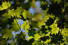 Close-up green leaves Royalty Free Stock Photography