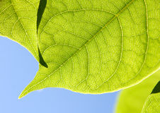 Close up of  Green Leaves. In sunlight against the sky Royalty Free Stock Image