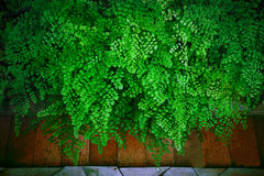 Close up green leaves of Black Maidenhair fern leaves  (Adiantum Stock Image