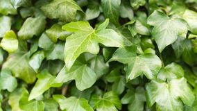 Close up of green leaves on a bush stock photos