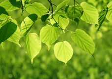 Close-up of green leaves glowing in sunlight. Fresh green leaves of linden tree glowing in sunlight Royalty Free Stock Photography