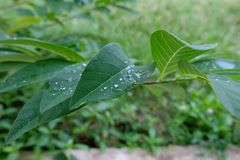 Close up of green leaves, Nature Background. royalty free stock photo