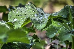 Raindrops on green leaves Royalty Free Stock Photos
