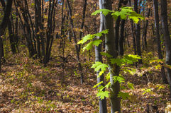 Close-up of the green leaves by single maple in the autumn fores Stock Image