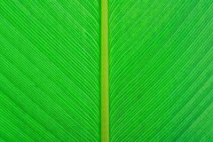 Close up green leaf texture background. Close up green leaves texture background Royalty Free Stock Image
