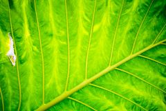Close up of Green Leaves texture background ,natural background, leaf fibers. Close up of Green Leaves texture background  natural background, leaf fibers royalty free stock photos