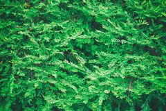Close up of Green Leaves texture background natural background, leaf fibers. Close up of Green Leaves texture background natural background leaf line net fibers royalty free stock photos