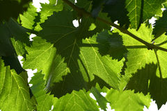 Close up of green leaves in a Vineyard. Tuscany. Royalty Free Stock Photo