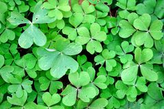 Close-up of green leaves of wood sorrel Oxalis stock photo