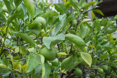 Close up of a green lemon tree with lemons. Stock Photo