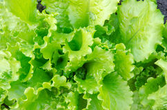 Close up of green lettuce. Concept of healthy lifestyle and dieting. Close up of green lettuce. Concept of healthy lifestyle and dieting Stock Image
