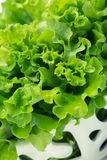 Close up of green lettuce in patterned bowl Stock Image