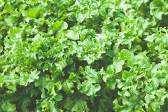 Close up of green lettuce Stock Photos