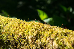 Close up green lichen moss plant grow Royalty Free Stock Photos