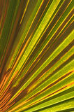 Close up the green line  of palm leaf on natural Stock Photography