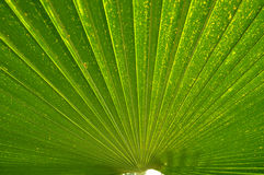 Close up the green line  of palm leaf on natural Stock Images