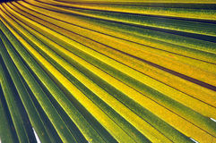 Close up the green line  of palm leaf on natural Stock Image