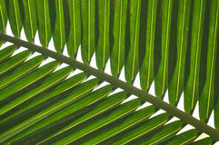 Close up the green line  of palm leaf on natural Royalty Free Stock Image