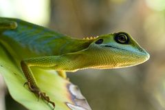 Close up of a green lizard Royalty Free Stock Images