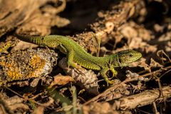 Close up Green Lizard Royalty Free Stock Image