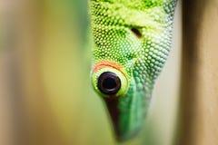 Close up green lizard eye Royalty Free Stock Photo