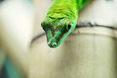 Close up green lizard eye Stock Images