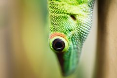 Close up green lizard eye Royalty Free Stock Photo