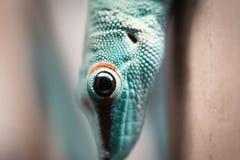 Close up green lizard eye royalty free stock photos