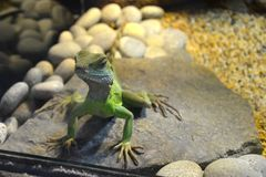 Close-up of a green lizard sitting on a stone in a terrarium royalty free stock image
