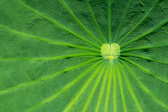 Close up on a green lotus leaf Royalty Free Stock Photo