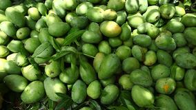 Close up of Green mangoes stock video footage