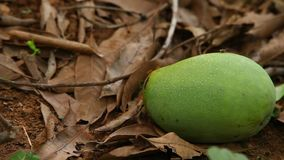 Close up of Green mangoes stock footage