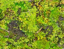 Close up of green moss Royalty Free Stock Images