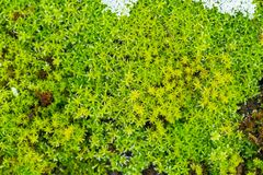 Close up of green moss Royalty Free Stock Photography