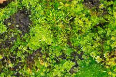 Close up of green moss Stock Images