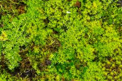 Close up of green moss Stock Photography