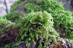 Close up of green moss. On tree log Stock Photography