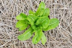 Close up green oak lettuce leaf Stock Image