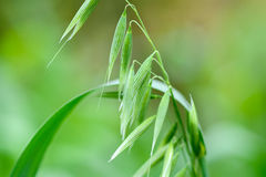 Close up of green oat ears Royalty Free Stock Photography