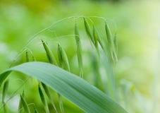 Close up of green oat ears Stock Photography