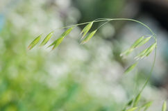 Close up of green oat ears Royalty Free Stock Photos