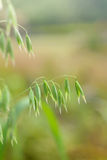 Close up of green oat ears Royalty Free Stock Image