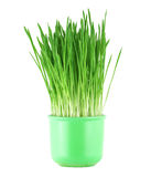 Close-up of green oat grass Royalty Free Stock Photography