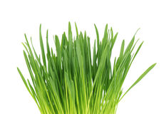 Close-up of green oat grass, isolated on white background. Cat Grass. Close-up of green oat grass, isolated on white background royalty free stock photo