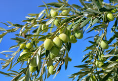 Close up of green  olive branch. Against blue sky Stock Images