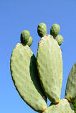 Close up of a green Opuntia Cactus on a blue sky Royalty Free Stock Photos