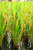 Close up of green paddy rice Royalty Free Stock Image
