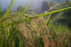 Close up of green paddy rice Royalty Free Stock Photo
