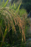 Close up of green paddy rice Stock Images